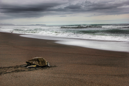 Sea turtle - Playa Ostional