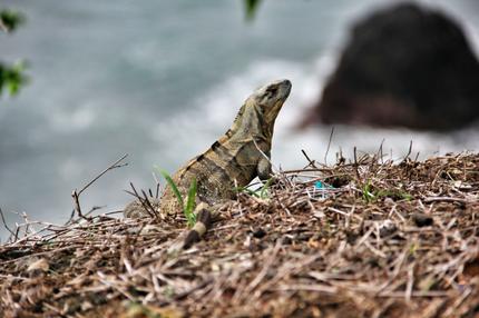 Monitor lizard - Jacó