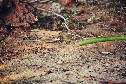 Colorful lizard at Tamarindo Beach
