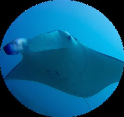 Mantaray are Bora Bora's idol. Fun Dive in BOra Bora