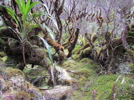 Forêt de Bélouve, Réunion