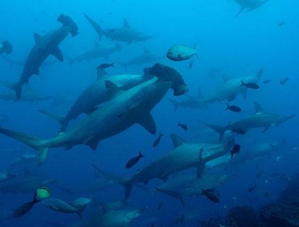 Tauchen auf den Galapagos Inseln mit ECUADORline             (Foto: Aggressor)