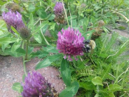 Der Rotklee (trifolium pratense) verbirgt seinen Nektar am Ende von bis zu 1 cm langen Röhren, so dass die Hummeln aufgrund ihres langen Rüssels gegenüber den Bienen klar im Vorteil sind.