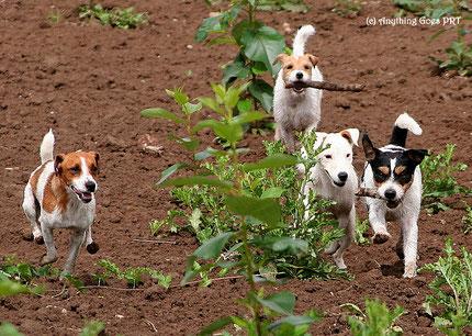 Fritzi und Crazy mit zwei ihrer Outlaw British Jack Russell Terrier Friends