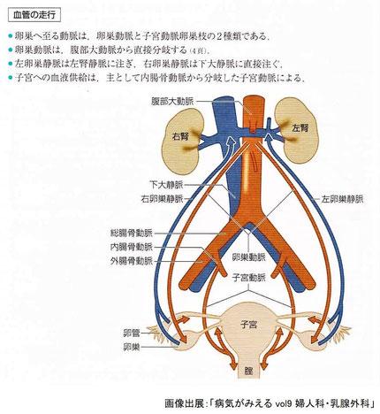 卵巣へ至る動脈:卵巣動脈と子宮動脈卵巣枝の2つ