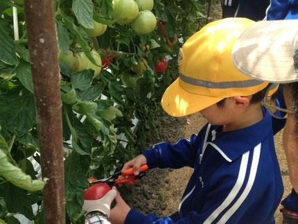 食育・体験学習でトマト収穫(写真)