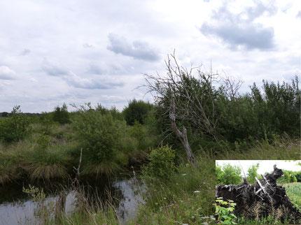 Im Laufe der Jahre entwickelt sich hier ein naturnaher Bruchwald, der vielen gefährdeten Tieren und Pflanzen als Lebensraum dient.