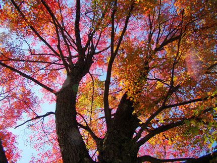 Photo of red maples in Slippery Rock, PA , courtesy of Glenn Marsch