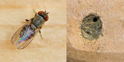 Taufliege Cacoxenus indagator Lehmdeckel Verschlußdeckel parasite cleptoparasite  fruit fly