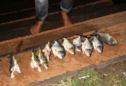 Notre pêche miraculeuse au Pantanal : piranhas et poissons chats