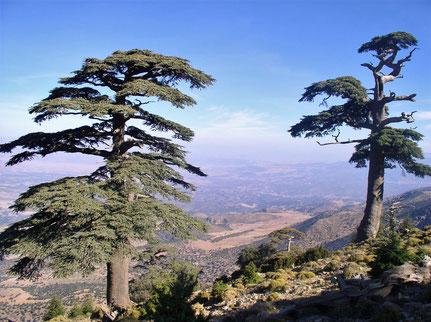 Cedrus atlantica sur la montagne de Tichoukte - Maroc Famille botanique : Abiétacée