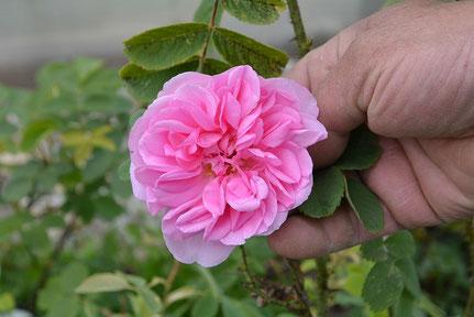 Rose Bioeschenhof