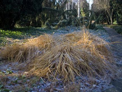 Das Riesen-Pfeifengras (Molinia arundinacea) fällt bei Schnee und Regen im Winter schnell zusammen
