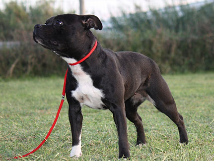 Sweet Alligator ( Staffordshire Bull Terrier )