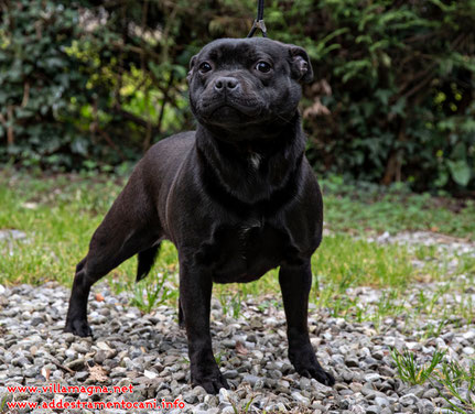 Little Frog ( Staffordshire Bull Terrier )