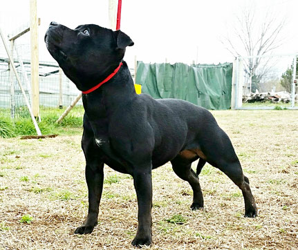 Amira Little Black Jewel ( Staffordshire Bull Terrier )