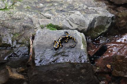 Salamander im Koseka Schlucht
