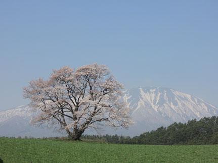 桜もほぼ満開に近いようです。