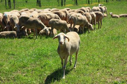 Une ferme d'élevage ovin laitier