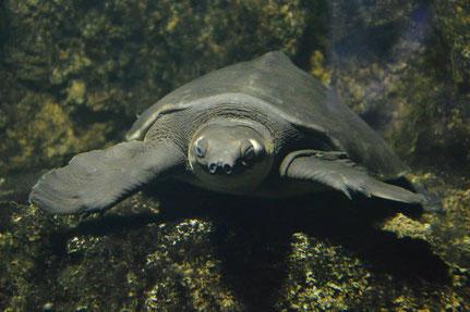 Nasenschildkröte (unter Wasser :-) )