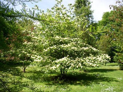 des fleurs blanches recouvrent ses branches largement étalées