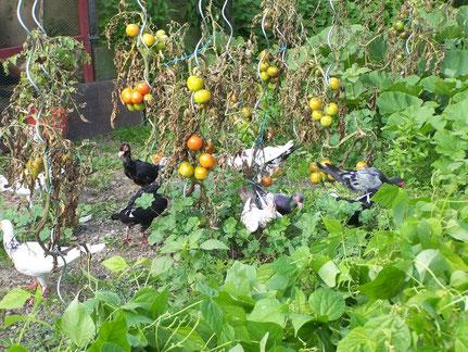 Petite visite dans les tomates et haricots verts