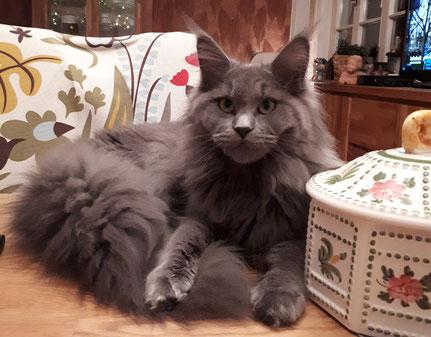 Maine Coon Katze blue Shorty von Masanti
