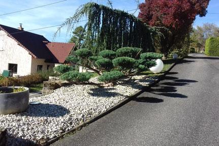 Taille Niwaki d'arbustes Juniperus à Nevy-sur-Seille dans le Jura (39)