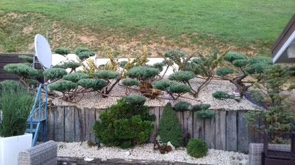 Taille Niwaki de Juniperus près de Lons-Le-Saunier dans le Jura (39)