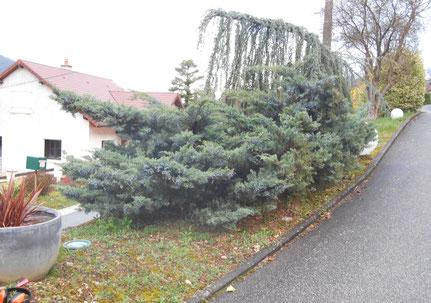 Arbustes avant la taille en nuage à Nevy-sur-Seille (39)