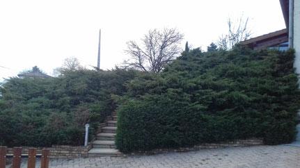 Butte d'arbustes Juniperus avant taille en nuages à Saint-Etienne-sur-Chalaronne (01)