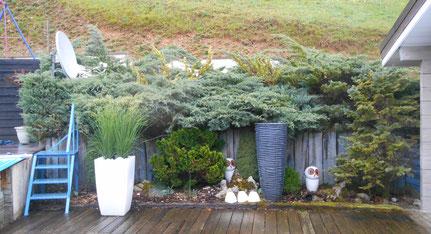 Butte de Juniperus avant leur taille Niwaki dans le Jura (39)