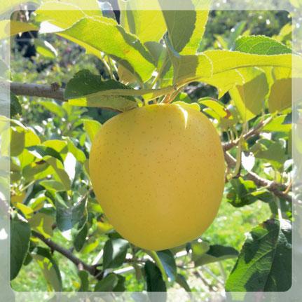 まるす小平果樹園で人気のシナノゴールドです。