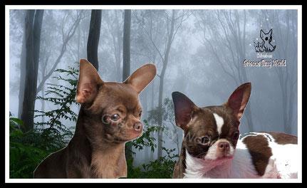 Photo de Jeunes Chihuahua poil court chocolat