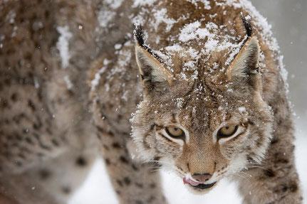 Luchs-(Lynx lynx)