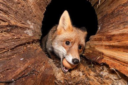 Fuchs mit Beute (Hühnerei)