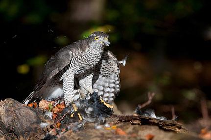 Habicht (Accipiter gentilis) mit Krähe