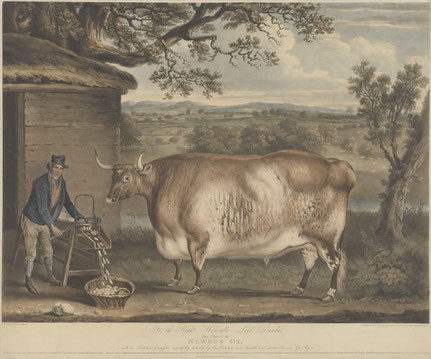 A prize cow being fed by its owner