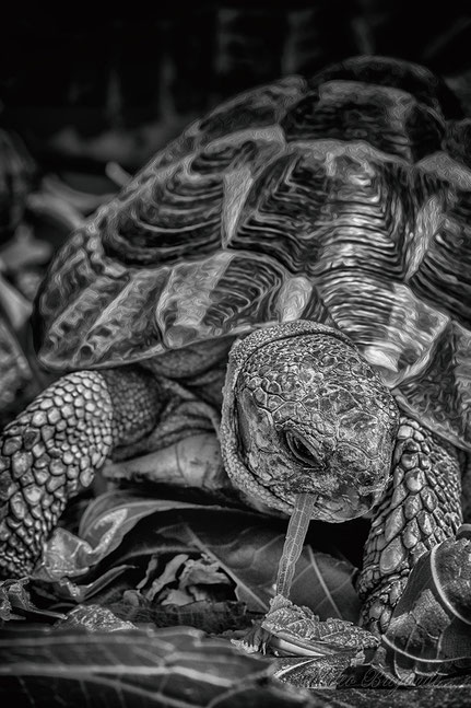 La galerie de Mateo,  Mateo Brigande, animal domestique, tortue d'Hermann