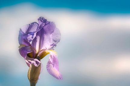 La galerie de Mateo, Mateo Brigande, iris, fleurs, botanique, nature, végétaux, macro, pétales