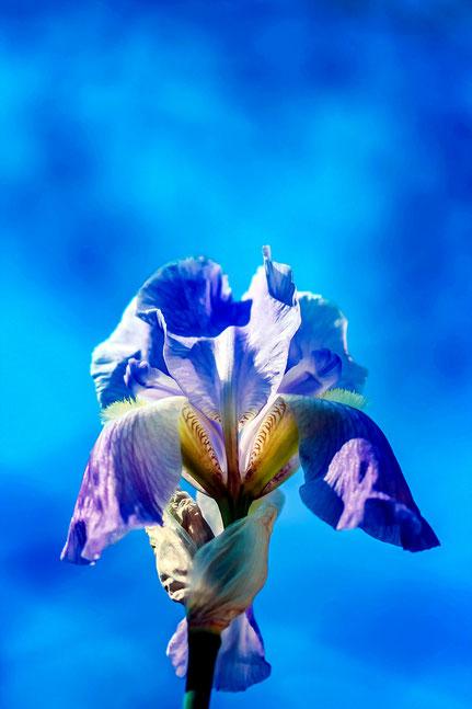 La galerie de Mateo, Mateo Brigande, fleurs, botanique, nature, végétaux, iris, macro,