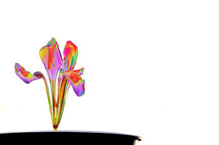 La galerie de Mateo, Mateo Brigande, iris versicolore, fleurs, botanique, nature, végétaux,  pétales
