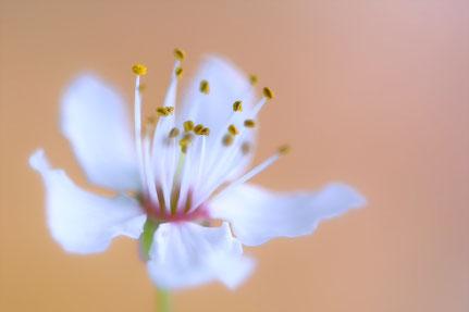 La galerie de Mateo, Mateo Brigande, fleur d'amandier, fleurs, botanique, nature, végétaux, macro, pétales