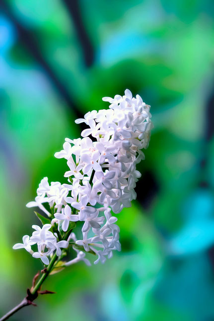La galerie de Mateo, Mateo Brigande, fleurs, botanique, nature, végétaux, lilas,