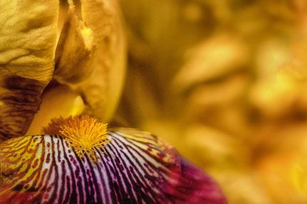 La galerie de Mateo, Mateo Brigande, Iris, fleurs, botanique, nature, végétaux, macro, pétales, étamines