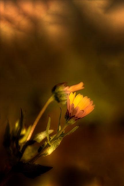 La galerie de Mateo, Mateo Brigande, fleurs, botanique, nature, végétaux, clair obscur, fleur sauvage,