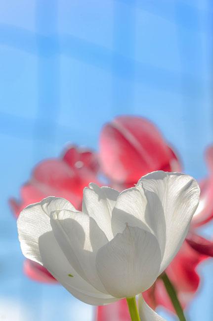 La galerie de Mateo, Mateo Brigande, fleurs, botanique, nature, végétaux, macro, tulipe