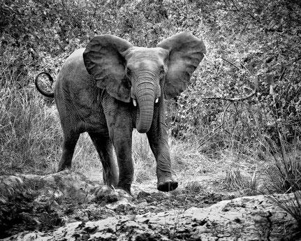La galerie de Mateo,  Mateo Brigande, animal sauvage, éléphant d'Afrique