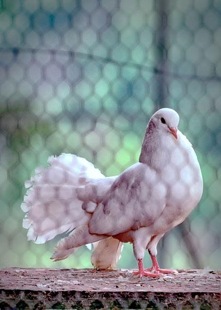 La galerie de Mateo,  Mateo Brigande,animal domestique, oiseau, pigeon paon,