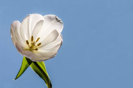 La galerie de Mateo, Mateo Brigande, tulipe, fleurs, botanique, nature, végétaux, macro, pétales